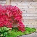Small Trees That Won't Take Over Your Lawn