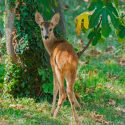 Easy, Humane Ways to Keep Deer Out of Your Garden